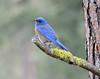 Western bluebird  photo: Dave Hillestad (CDLandTrust) Tags: westernbluebird
