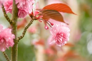 Cherry Pink!