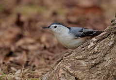 Playing Peek-a-boo (Slow Turning) Tags: sittacarolinensis whitebreastednuthatch bird perched tree trunk bark foraging forage deadleaves southern ontario canada male autumn