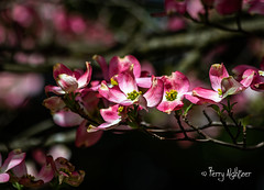 Spring Pink Dogwood [Explore] (Terry Aldhizer) Tags: spring pink dogwood flowers tree blooms april roanoke virginia neighborhood bokeh terry aldhizer wwwterryaldhizercom