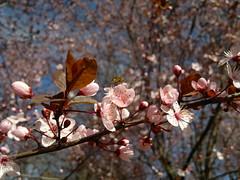 2018-04-03-13222 (vale 83) Tags: blossom nokia n8 friends coloursplosion colourartaward