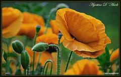 Papaveri gialli - Aprile-2018 (agostinodascoli) Tags: papaverigialli texture papaveri giallo nature agostinodascoli photoshop cianciana sicilia creative fiori aprile primavera