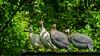 Guinea Fowl (Shiva Shenoy) Tags: flowermound texas spring 2018 guineafowl