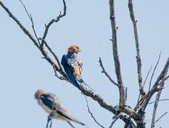 _DSC4991 (AngelPixCn) Tags: angepixcn birds farm feathers hennopsriver nikond7100 southafrica tree wildlife wings centurion gauteng za