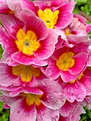 Pink and yellow spring beauties (+2) (peggyhr) Tags: raindrops rainy peggyhr primulas pink yellow droplets green vancouver bc canada rainbowofnaturelevel1red carolinasfarmfriends flowersorfoliagedetail rainbowofnaturelevel2orange 50faves thegalaxy thegalaxystars super~sixbronze☆stage1☆ thelooklevel1red thegalaxylevel2