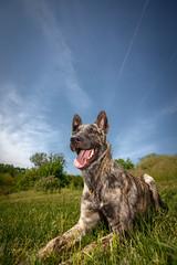 Cooper in spring sunshine :) (Kasza Norbert) Tags: dutchshepherd hollandseherdershond holland juhász sunshine mydog