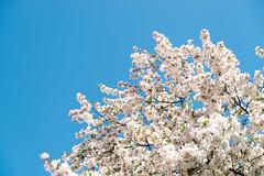 Springtime Blossoms (IRL_f) Tags: tree blossom flower sky blue cloudless branch saint st louis missouri spring nikon d800