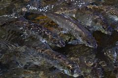 River Herring (brucetopher) Tags: herring fish swim swimming upstream return water stream brook aqua aquatic migratory species alewives blueback