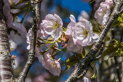 Cherry Blossom (Travels with a dog and a Camera :)) Tags: 2018 spring england flowers plants blossom digital netham tamron af 18200mm f3563 xr di ii ld asperical if macro uk pentax cherry k70 justpentax bristol redfield art park south west lightroom april nethampark pentaxart pentaxk70 southwest tamronaf18200mmf3563xrdiiildaspericalifmacro unitedkingdom gb