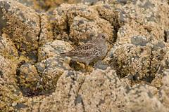 Purple sandpiper (jon lees) Tags: bird coastal countydown northernireland ballyholme groomsport
