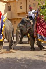 Elephants at the Amber Fort (Mike Legend) Tags: india jaipur rajasthan amer amber fort jalebi chowk elephant