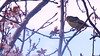 Birdwatching 20160217 (caligula1995) Tags: 2016 americangoldfinch bird plumtree