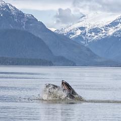 Humpback whale eat herring (Gillfoto) Tags: whale humpback feeding herring bernersbay alaska juneau megapteranovaeangliae