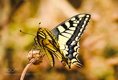 Common Yellow Swallowtail (KevinBJensen) Tags: common yellow swallowtail monarch metamorphosis pollination butterfly nectar blooming flower hummingbird hawkmoth wildflower pollen insect old world papilio machaon syriacus זנב סנונית נאה