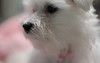 Bunny up close and personal (Dotsy McCurly) Tags: nikond850 tokinaatxm100prod100mmf28macro bunny cute dog maltese closeup