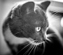 280 of 365: Cats Can (tainkeh) Tags: 2018 bokeh spring monochrome pet nature whisker closeup cat 365 fauna may monday animal 365project feline project365