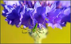 Tiny Monster (tdlucas5000) Tags: cornflower spider greenspider lynxspider peucetia viridans macro closeup bokeh creamybokeh d850 sigma105