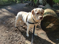 Gracie beside a fallen tree (walneylad) Tags: gracie dog canine pet puppy cute lab labrador labradorretriever may spring afternoon sun lynnvalley hunterpark
