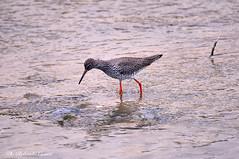 Pettegola _001 (Rolando CRINITI) Tags: pettegola uccelli uccello birds ornitologia torrentesturla natura trincatotanus