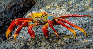 Sally Lightfoot crab-1936