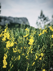 Sormiou Floral mai 2018 -  09 (akunamatata) Tags: sormiou floral balade mai 2018 parc des calanques park provence fleurs flowers sentier sciatique