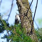 Black-and-white Warbler thumbnail