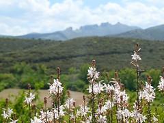 Primavera en el Moncayo. Flores de Asphodelus /gamón. Al fondo Peñas de Herrera (joseange) Tags: asphodelus gamón moncayo zaragoza aragón españa bokeh lumixlx15 beyondbokeh