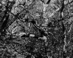 Beech, Birch and Oak (Hyons Wood) (Jonathan Carr) Tags: ancient woodland rural northeast black white bw landscape trees light shadow monochrome largeformat 4x5 5x4 toyo45a