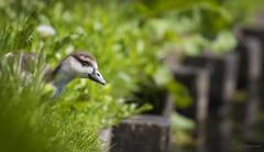 Peek-a-boo (Paula Darwinkel) Tags: gosling egytiangoose goose bird chick cute animal wildlife nature green sun