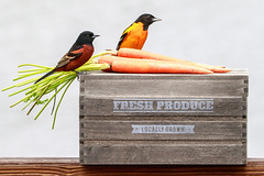 Baltimore and Orchard Orioles (dshoning) Tags: birds orioles box freshproduce baltimore orchard carrots spring iowa