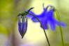 Avant, après. (Phil du Valois) Tags: ancolie fleur forestière forêt aquilegia vulgaris
