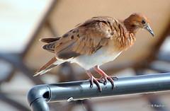 DSC_0570 (RachidH) Tags: birds oiseaux colombe paloma dove picazuro pigeon zenaidadove zenaidaaurita tourterelleàqueuecarrée westindies antilles meadsbay anguilla rachidh nature nationalbirdofanguilla