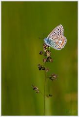 Argus Bleu (capo.jeanclaude) Tags: papillon argus bleu