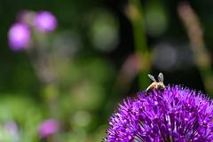 Like a Honey bee to Allium  -  (Selected by GETTY IMAGES) (DESPITE STRAIGHT LINES) Tags: garden kewgardens kewgardenslondon nature mothernature naturalbeauty beauty landscape nikon24120mmf4 nikon24120mmf4gedvr kent england sunlight nikon d850 nikond850 nikkor24120mm nikon24120mm nikongp1 paulwilliams despitestraightlines flickr gettyimages morning getty gettyimagesesp despitestraightlinesatgettyimages tree trees woods woodlands woodland forest foliage may season springtime honeybee westernhoneybee bee allium