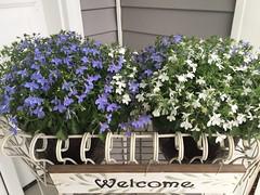 Lobelia (Foxy Belle) Tags: lovelia pots flowers blue white