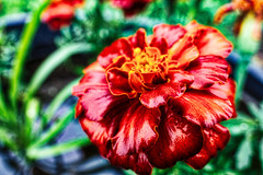 flower (avflinsch) Tags: ifttt 500px flower blooming bloom blossom floral tulip petal botanical bed hydrangea spring lavender 15mm macro opteka