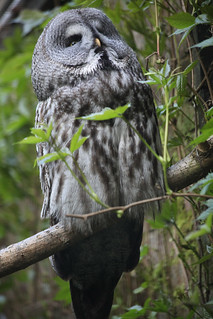 Strix nebulosa, la chouette lapone, the great grey owl.