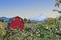 Barn Orchard Mt Hood 7409 D (jim.choate59) Tags: barn millersbarn mthood hoodriver on1pics jchoate orchard blossoms spring springtime mountain rural agriculture trees fruitvalley oregon landscape d610
