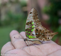 Tailed Jay (asheshr) Tags: graphiumagamemnon ashesh asheshrathor beautifulbutterfly beautifulmacro beautifulmacros butterflies butterfliesofindia butterfliesofodisha butterfliesoforissa butterfly butterflycloseup d7200 greentriangle greenspottedtriangle insect insectcloseup insectmacro macro macrophotography nikon nikond7200 tailedgreenjay tailedjay