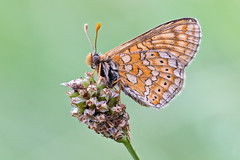 Golden Fritillary (der LichtKlicker) Tags: kaiserstuhl baden breisgau macro makro butterfly schmetterling wings flügel sitting sitzend pflanze plant meadow wiese morning sonnenaufgang sunset closeup fujifilm xt2 xf80mm lichtklicker orange fritillary scheckenfalter stacking focusstacking