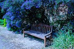 Bench Blues (violetchicken977) Tags: benchmonday ceonothus blue