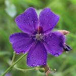 Gotas de lluvia sobre la flor / Raindrops over the flower thumbnail
