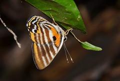 Euselasia toppini (Luísa Mota) Tags: butterfly borboleta lepidoptera amazon amazônia forest rainforest cristalino mt euselasia metalmark nature natureza brazil brasil stripes riodinidae insect inseto cristalinolodge cristalinojunglelodge