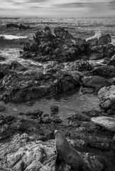 Baby seal (Ladislas B.) Tags: nature phoque seal kaikoura monochrome zealand new