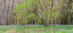 Piles Coppice 26th April 2018 (boddle (Steve Hart)) Tags: piles coppice 26th april 2018 steve hart boddle steven bruce wyke road wyken coventry united kingdon england great britain canon 5d mk4 6d 100400mm is usm ii 2470mm standard wild wilds wildlife life nature natural bird birds flowers flower fungii fungus insect insects spiders butterfly moth butterflies moths creepy crawley winter spring summer autumn seasons sunset weather sun sky cloud clouds panoramic landscape blue bells bluebells binleywoods unitedkingdom gb