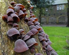All Ears (Malcolm Bull) Tags: 20180430fungi0024edited1web include wood ear jews jelly tree fungus auricularia auriculajudae shoreham churchyard st mary de haura 2018th31