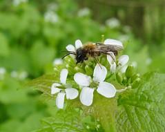 Hedge garlic bee! (rockwolf) Tags: andrenasp miningbee abeille hymenoptera bee insect hedgegarlic alliariapetiolata wildflowers flora battlefield shropshire rockwolf