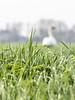 Uitdam 2018: Out-of-focus swan (mdiepraam) Tags: uitdam 2018 swan meadow dof trees grass
