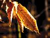 More autumn leftovers (PJD-DigiPic) Tags: pjddigipic orange golden brown light leaves autumncolors fallcolors woodlandwonders macro closeup