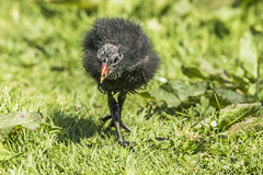 Young Moorhen (Mal.Durbin Photography) Tags: forestfarm maldurbin wildlifephotography wildlife birds